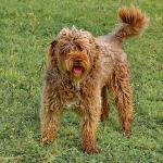 Alf Perfil 3 - Cão de água português