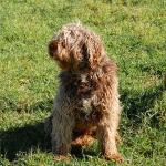 Alf Perfil 1 - Cão de água português
