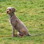 Alf Perfil 2 - Cão de água português