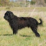 Fozzie Perfil 2 - Cão de água português
