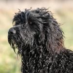 Fozzie Perfil 3 - Cão de água português
