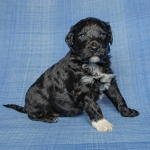 Fozzie Perfil 1 - Cão de água português