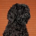 grommit perfil - Cão de água português