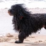 hamura perfil - Cão de água português