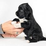 padme perfil - Cão de água português
