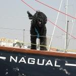 pollock perfil - Cão de água português