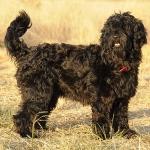 ponyo perfil - Cão de água português
