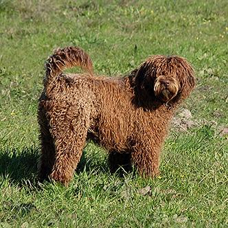 Alf Perfil - Cão de água português