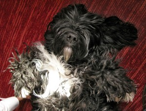 Portuguese Water Dog Behavior