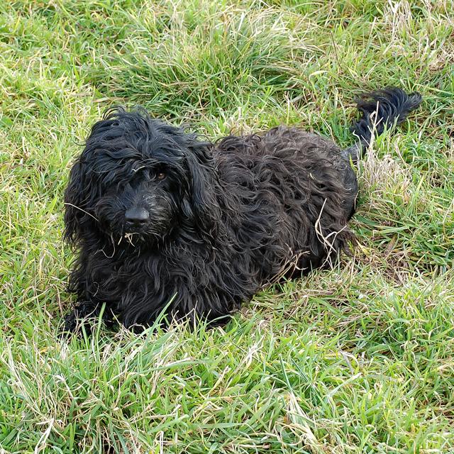 Dori Perfil - Cão de água português