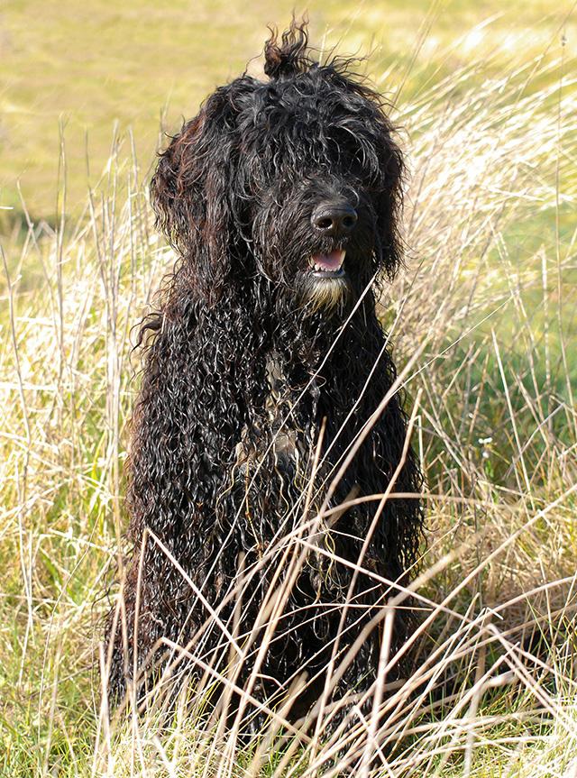 Fozzie Perfil - Cão de água português