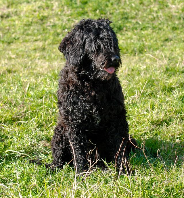 Lala Perfil - Cão de água português