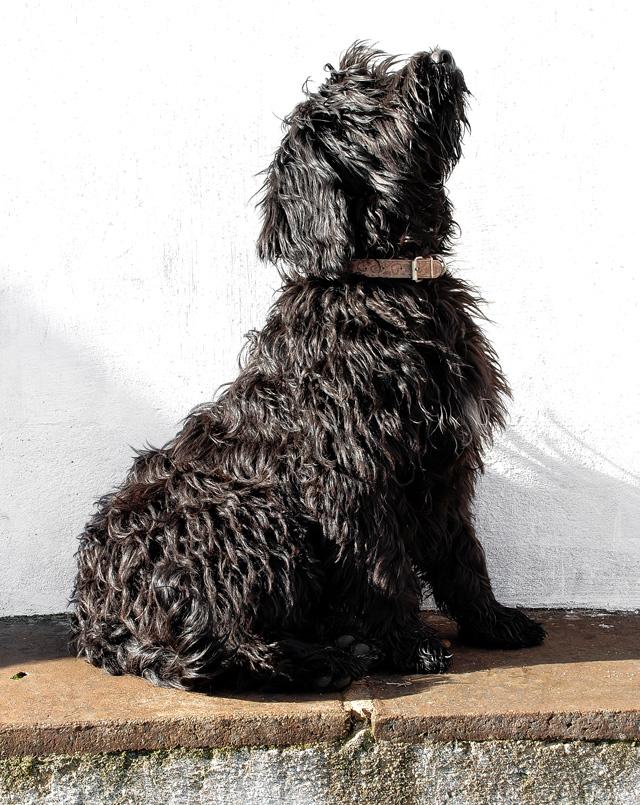 Lilo Perfil - Cão de água português