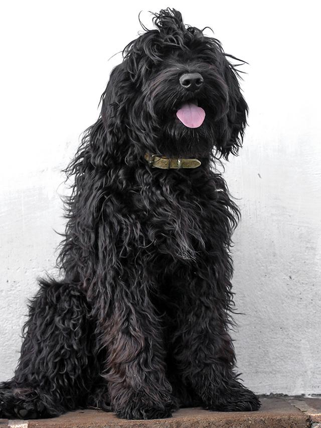 Nani Perfil - Cão de água português