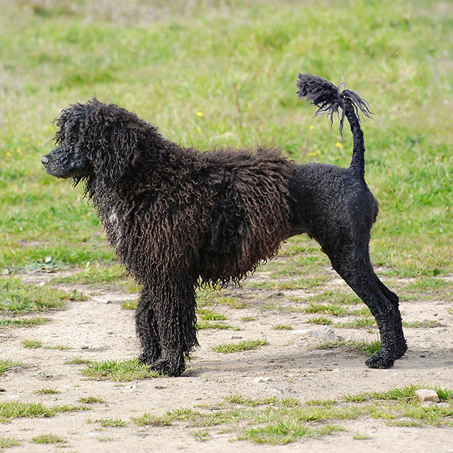 Wendy Profile - Portuguese Water Dog