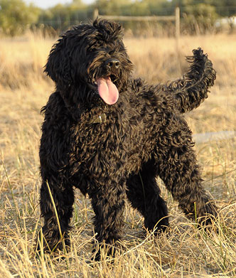 Grommit Profile - Portuguese Water Dog