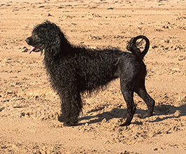 History of the Portuguese Water Dog