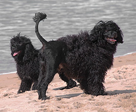 General Appearance of the Portuguese Water Dog