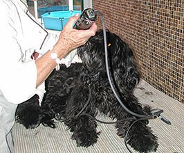 Coating and Hair of the Portuguese Water Dog