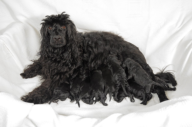 Portuguese Water Dog - Litter