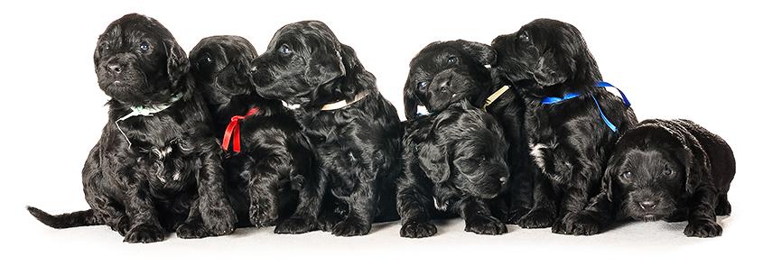 Bébés de ninhada Cão de Água Português