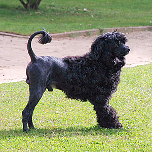 Portuguese Water Dog Coating and Hair Cut