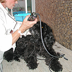 Portuguese Water Dog Coating and Hair
