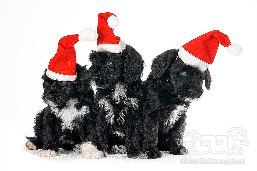 Portuguese Water Dog - Merry Christmas