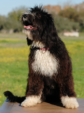 Ripley Perfil - Cão de água português