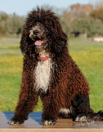 Sininho Perfil - Cão de água português